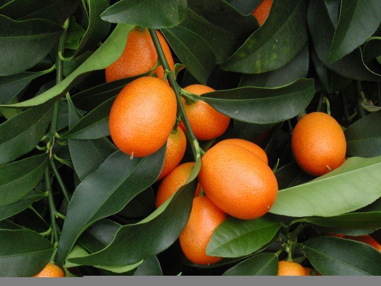 fortunella margarita