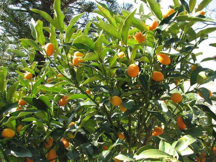 piante kumquat