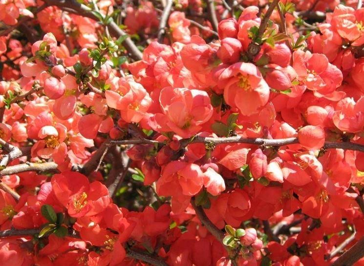 fiori di mele