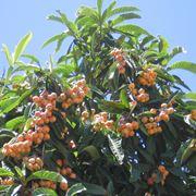 pianta di nespole