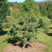albero di nespole