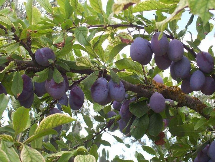 Prugna prunus domestica prunus domesica frutteto for Calcolatore del prezzo della costruzione domestica