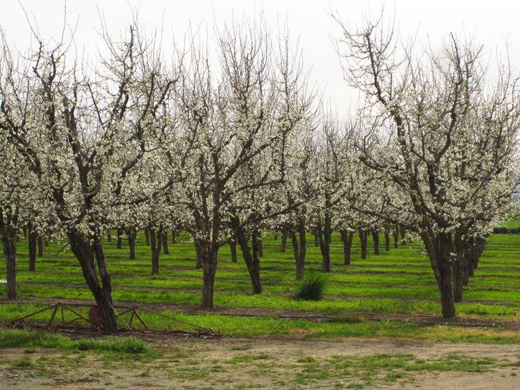 alberi prugne