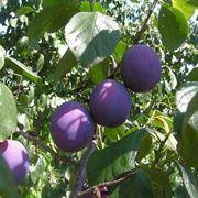 l albero delle prugne