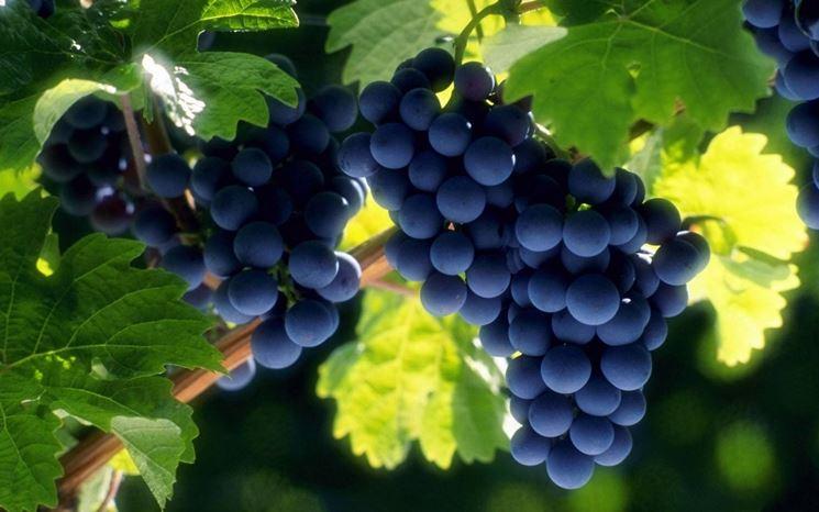 Vite - Vitys vinifera - Speciali - Vite - Speciali sul giardinaggio