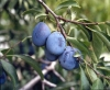 """Prunus domestica"""""""