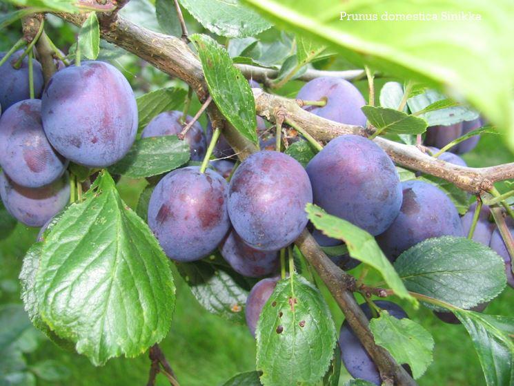 Susino prunus domestica prunus domestica frutteto for Pianta nocciolo prezzo