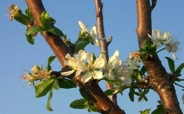 fioritura susino