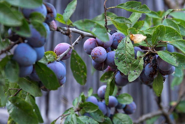 susino frutti