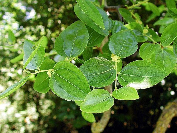 giuggiolo foglie