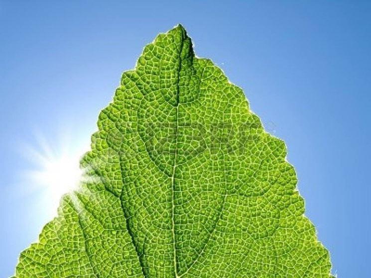 La clorofilla è presente nelle foglie verdi