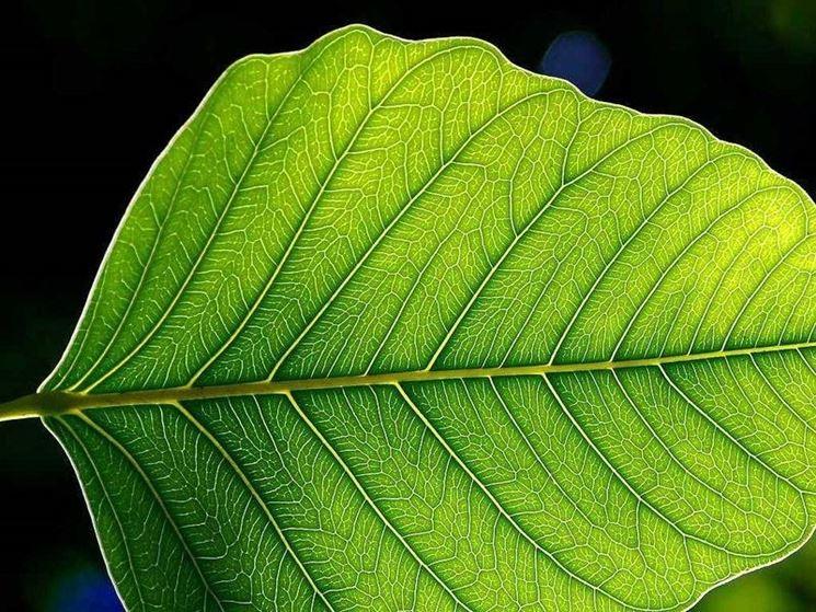 La presenza di clorofilla determina il caratteristico colore verde delle foglie