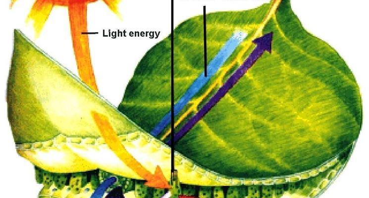 La fotosintesi avviene nelle foglie