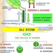 Uno schema della fotosintesi clorofilliana
