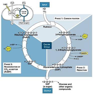 Schema del ciclo di Calvin