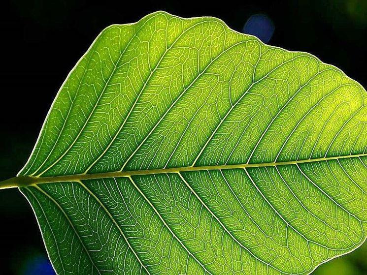 Una foglia in cui avviene la fotosintesi clorofilliana