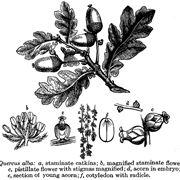 tipi di quercia
