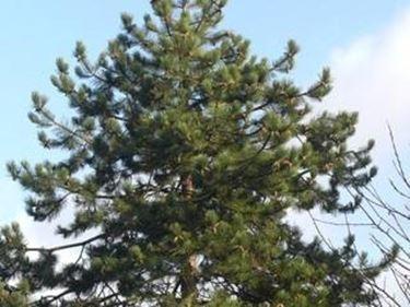 Riconoscimento dei pini botanica - Pino nano da giardino ...