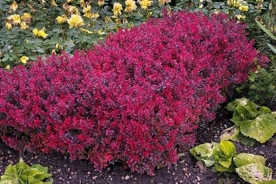 Cespugli all 39 ombra domande e risposte giardinaggio for Cespugli fioriti perenni resistenti al freddo