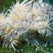 http://static.giardinaggio.it/parassiti/cocciniglia_N1.jpg