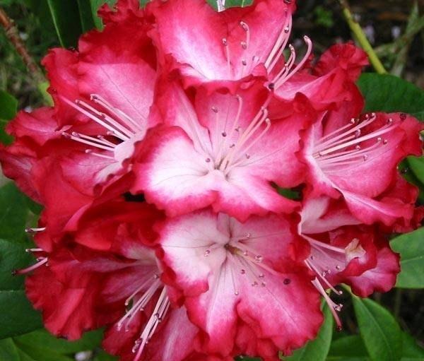 Concime rododendro domande e risposte giardinaggio - Rododendro prezzo ...