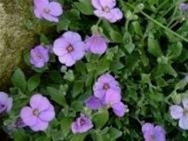 Piante tappezanti da fiore