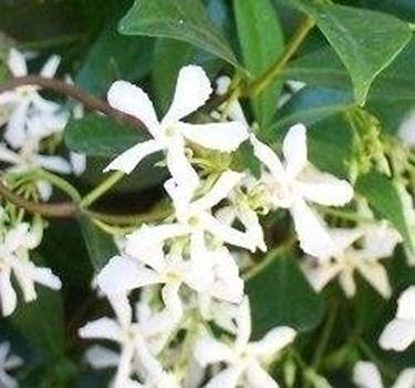 Rincospermum