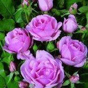 Domande e risposte giardinaggio sulla potatura for Potatura delle rose