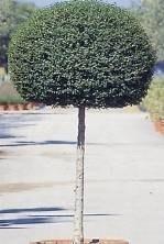 ligustro albero
