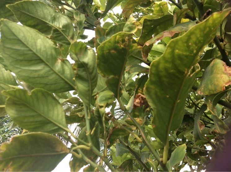 Limone Domande E Risposte Giardinaggio