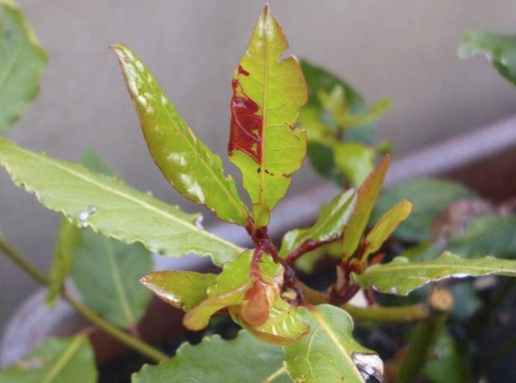 Macchie di ruggine nelle foglie di lauro domande e for Ruggine delle rose