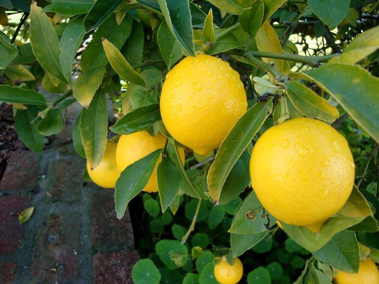 Pianta di limone domande e risposte giardinaggio for Pianta di limone
