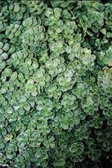 Piante sempreverdi da balcone domande e risposte for Piante verdi perenni da giardino