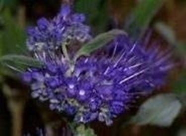 fiore di caryopteris