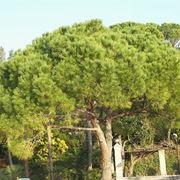 potatura pino