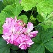 Geranio in fiore