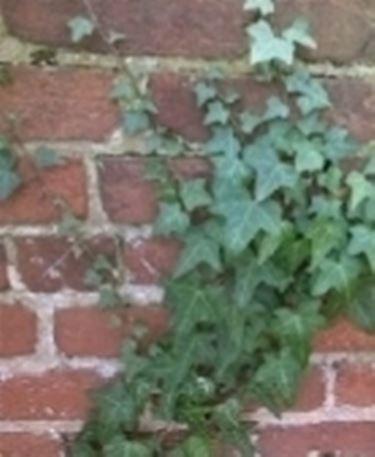 Edera con parassiti domande e risposte giardinaggio for Siepe finta amazon