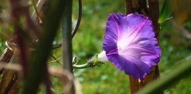 fiore ipomea