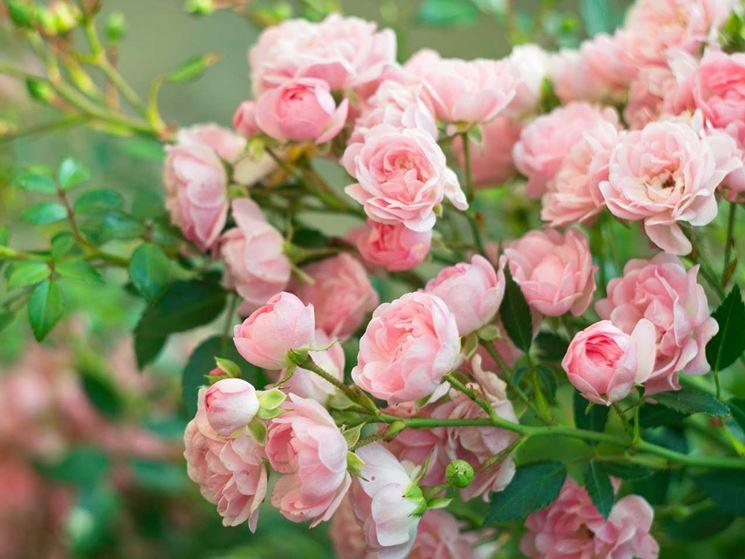 rosai