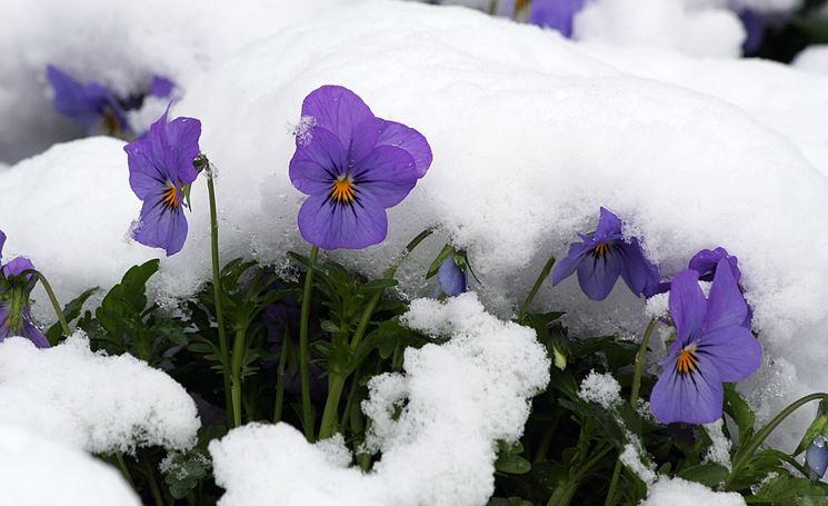 viole invernali