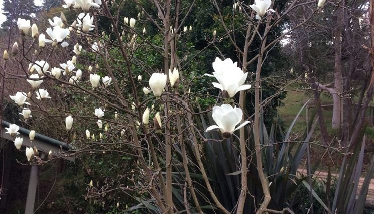 magnolia fioritura