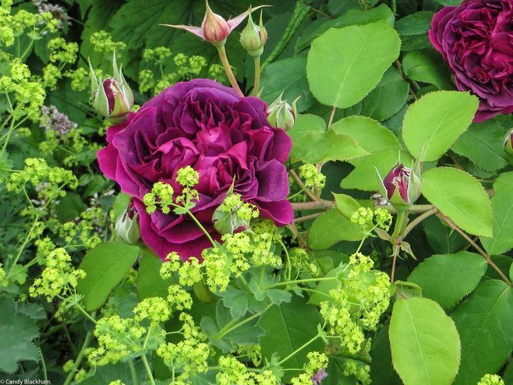 rose giugno