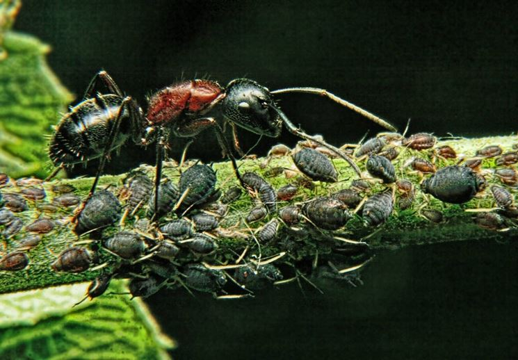 afidi e formiche