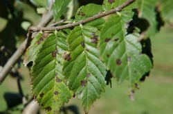 foglie malate di Antracnosi