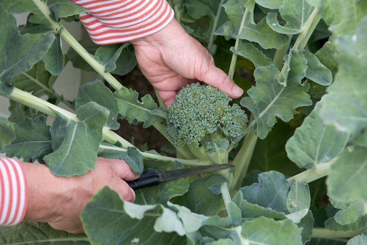 Raccolta broccolo calabrese