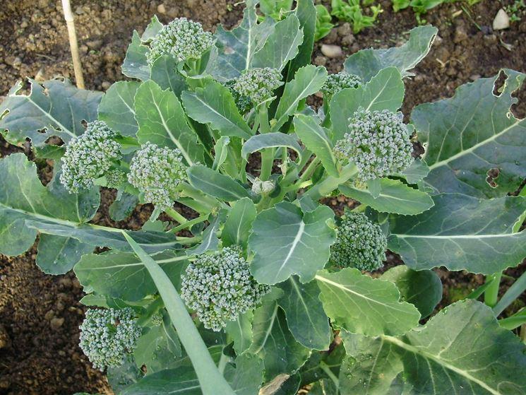 Parassiti broccoli