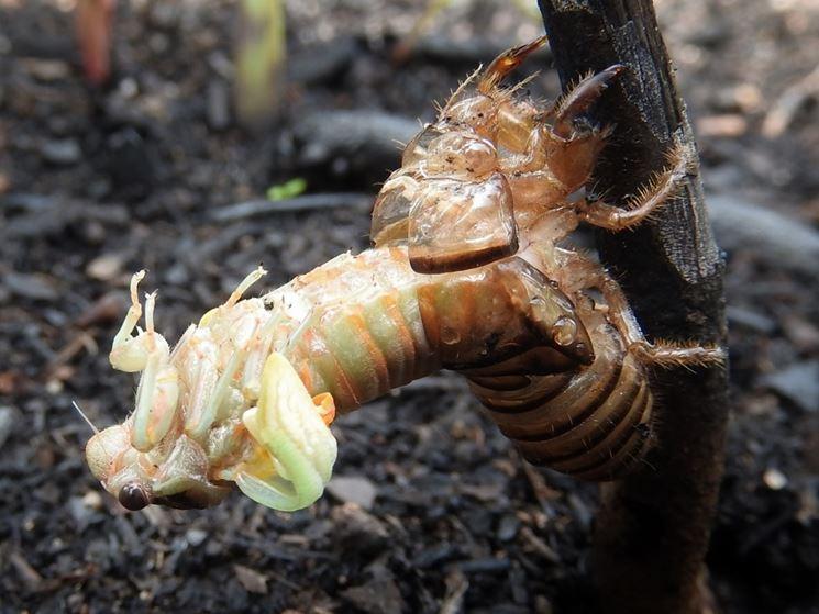 Evoluzione ninfa cicala