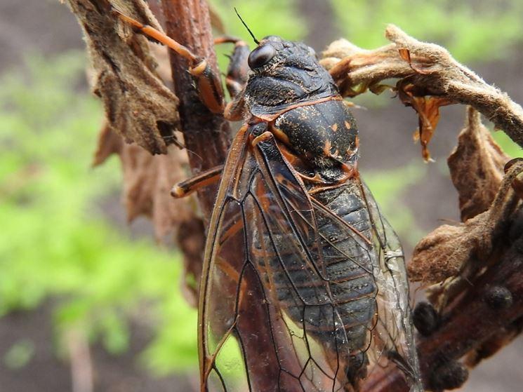 Esemplare adulto cicala