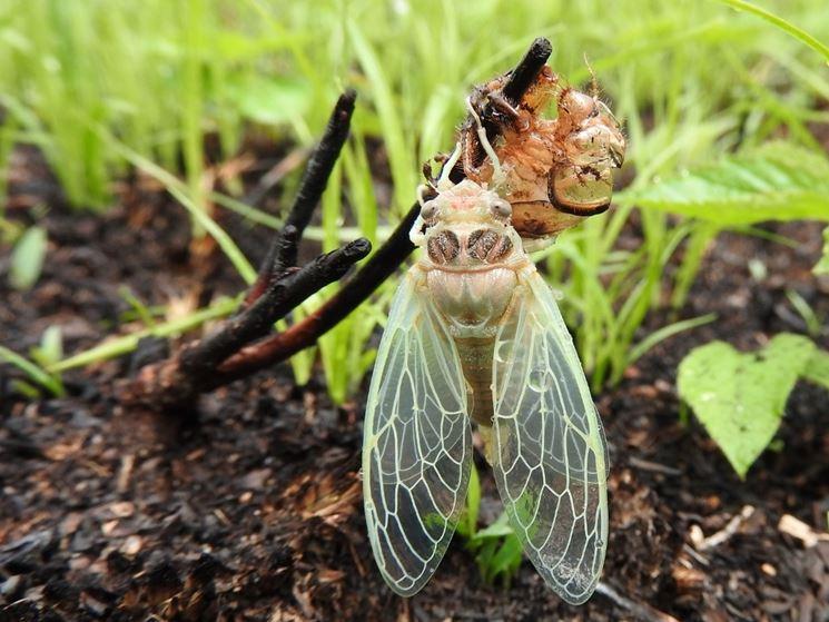 Cicala crisalide