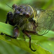 la cicala insetto